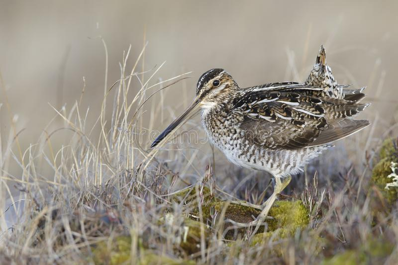 Wilson's Snipe, Gallinago delicata royalty free stock photos
