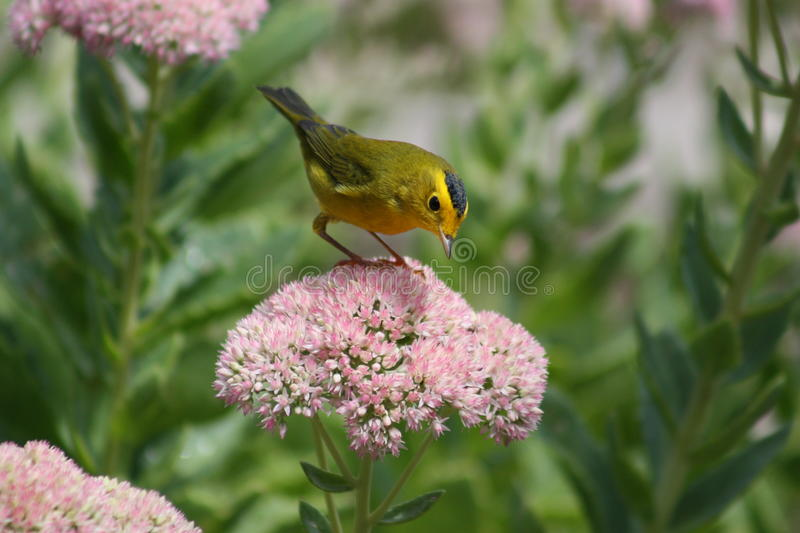 Download Wilson's warbler stock photo. Image of wilson, migratory - 10749190