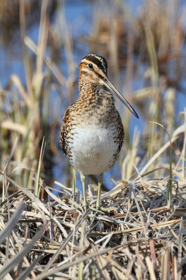 Wilsons Snipe images stock