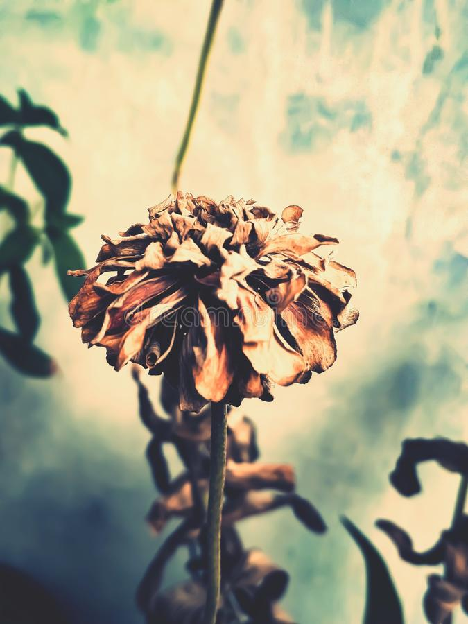 Wilted Flower stock image
