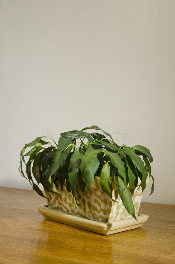 Download Wilted House Plant_2 Royalty Free Stock Images - Image: 24245309