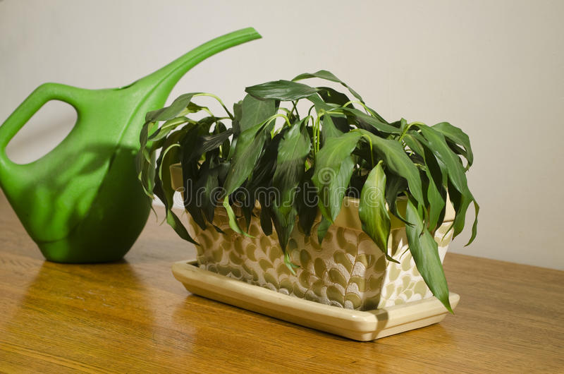 Download Wilted House Plant With Pitcher_3 Royalty Free Stock Images - Image: 24245279