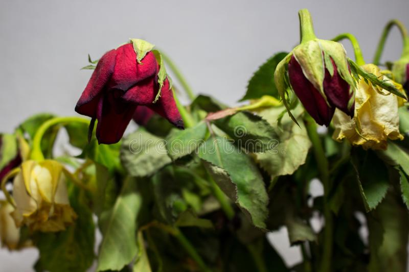 Wilted red and white rose on grey background. Dead flowers stock photography