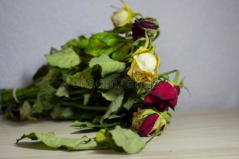 Wilted red and white rose on grey background. Dead flowers royalty free stock photo