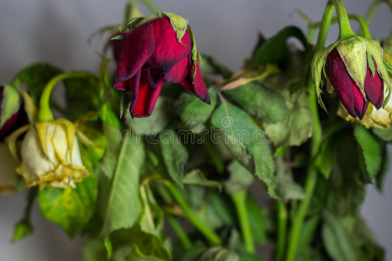 Wilted red and white rose on grey background. Dead flowers stock photos
