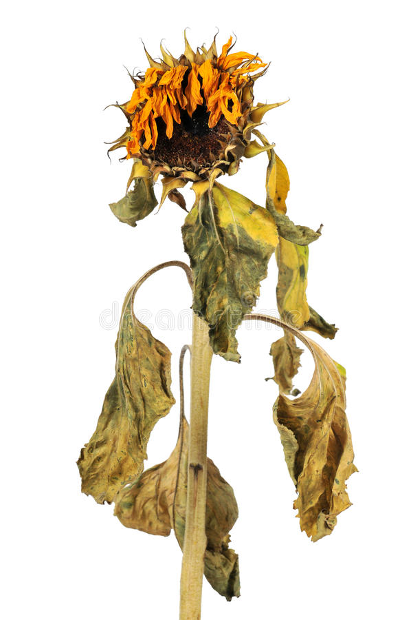 Free Wilted Sunflower Stock Photo - 20428800