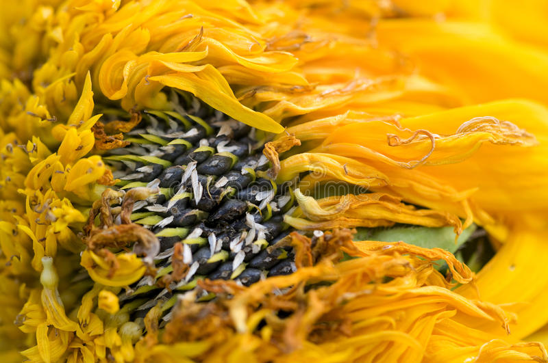 Wilted sunflower petals. Dried, wilted sunflower petals with seeds stock photo