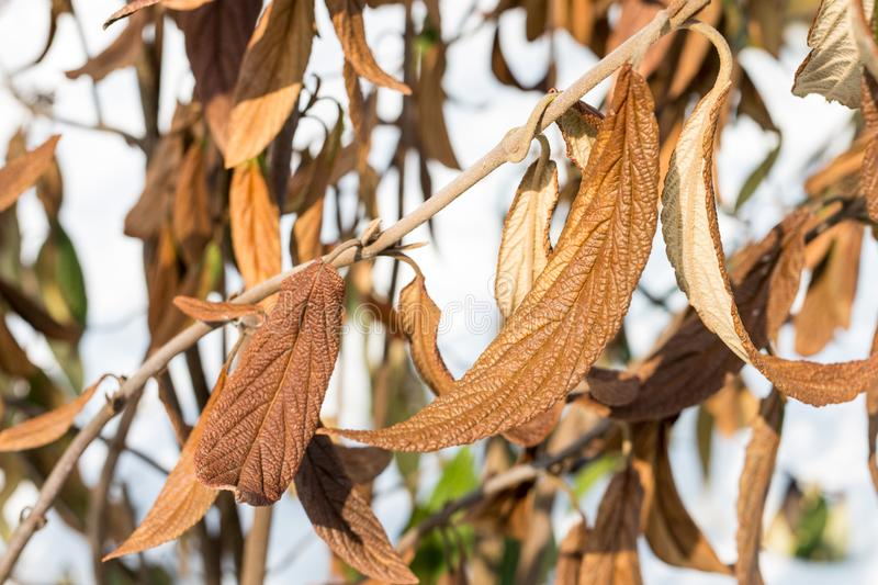 Wiltered brown leaves on tree branch. Frostbitten dead plant. Damaged by early frost foliage royalty free stock images