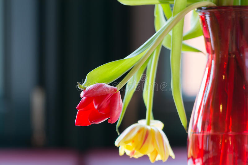 Wilting tulips in sunlight. Two tulips wilting in a vase of flowers and lights in the backlight royalty free stock images
