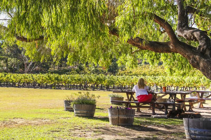Wilyabrup, Margaret River, Australie occidentale - 2011 : Une dame appréciant le vin à l'établissement vinicole de Cullen photographie stock