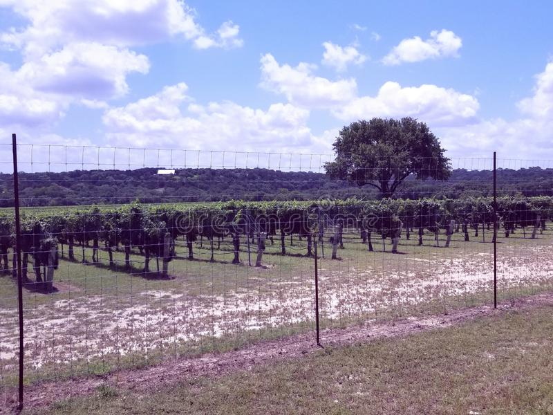Wimberly Texas wine vines. Country stock images
