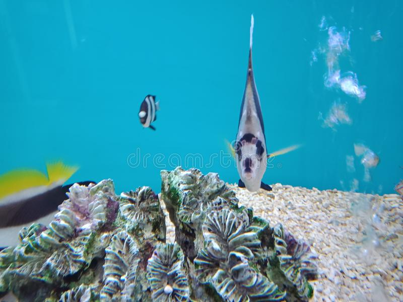 Wimpel coralfish, Longfin-bannerfish, Kutscher, Schwarzweiss-- Heniochus, das maurische Idol der schlechten mans, Schwarzweiss--b stockfoto