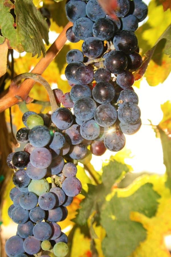 Win winogrona przy wschodem słońca lub zmierzchem obrazy royalty free