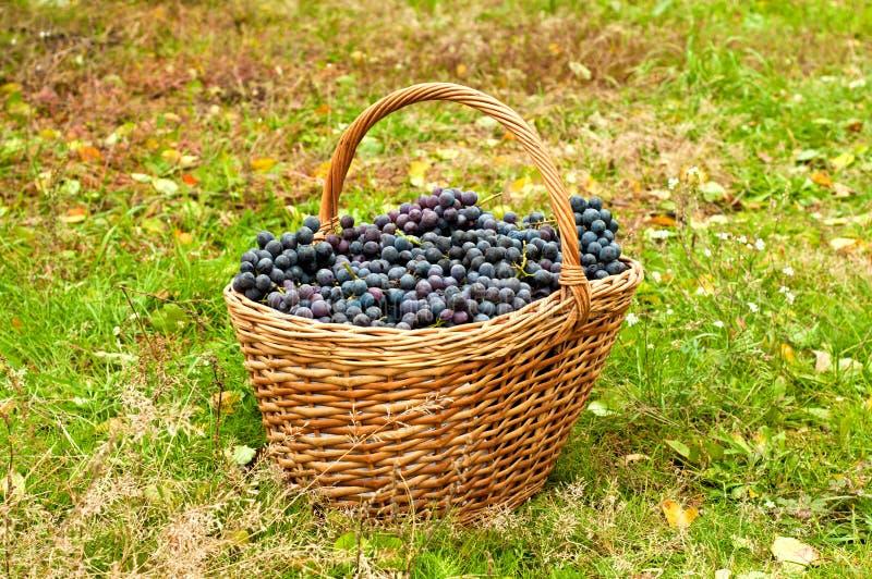 Win winogrona w koszu obrazy stock