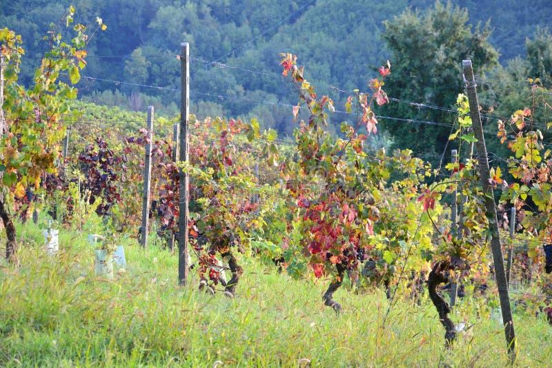 Win winogrona w polu fotografia royalty free