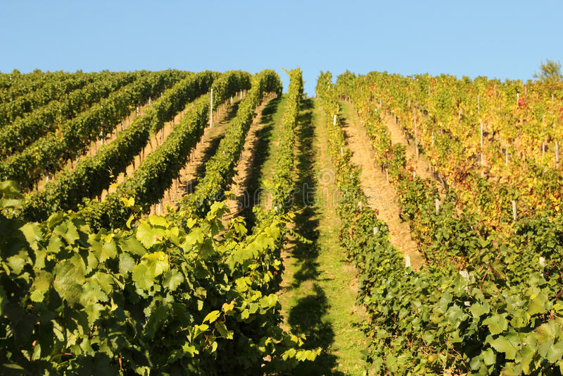 Wina rolnictwo w Hesse fotografia royalty free