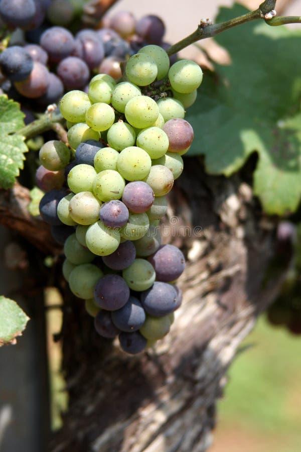 wina winogrona winorośli obraz stock
