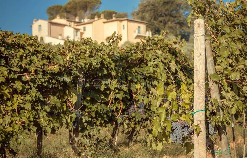 Wina winogrono i stary gospodarstwo rolne nad zieloną łąką Włochy Naturalny krajobraz z winoroślą Tuscany obrazy royalty free