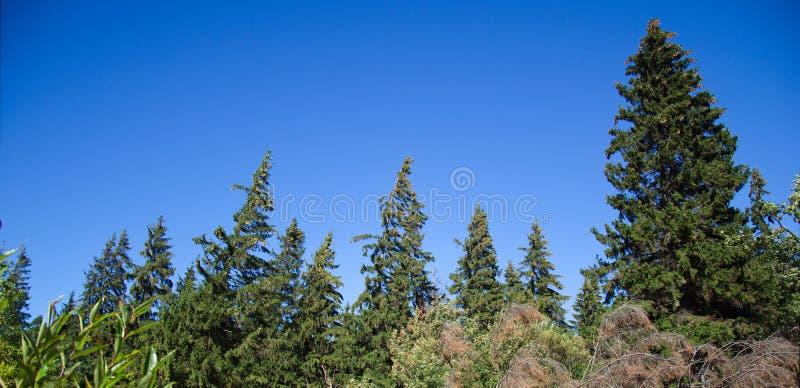 Wind über dem Kiefernwald und dem Himmel lizenzfreies stockfoto