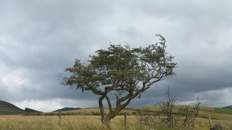 Wind beaten tree. Stunning leaning tree alone in the open royalty free stock image