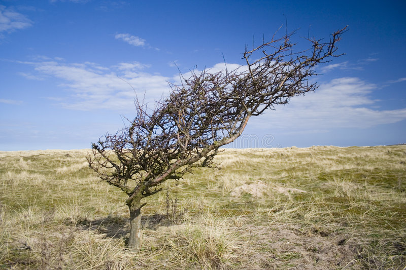 Wind bent tree on exposed sand dunes. royalty free stock photos