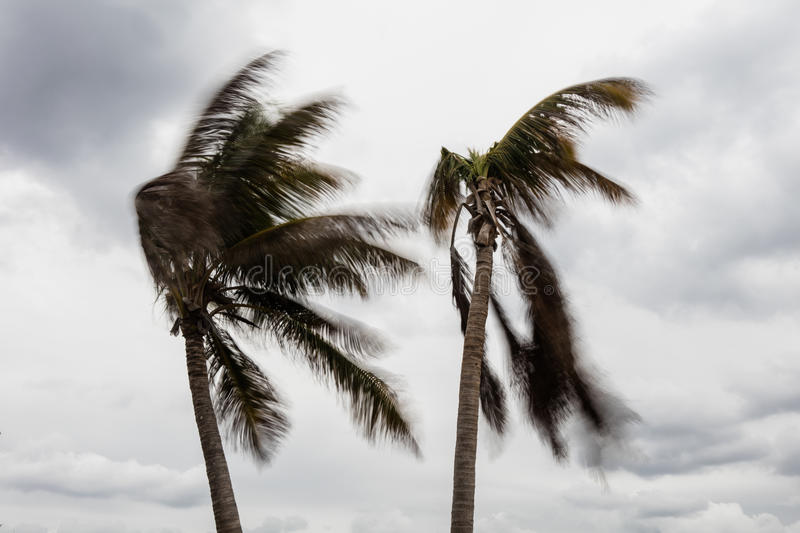 Wind Blowing Coconut Palms royalty free stock image