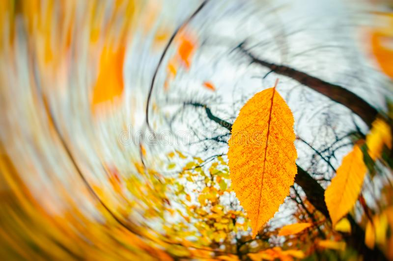 Wind blowing yellow leaves Autumn background. Fall season stock image