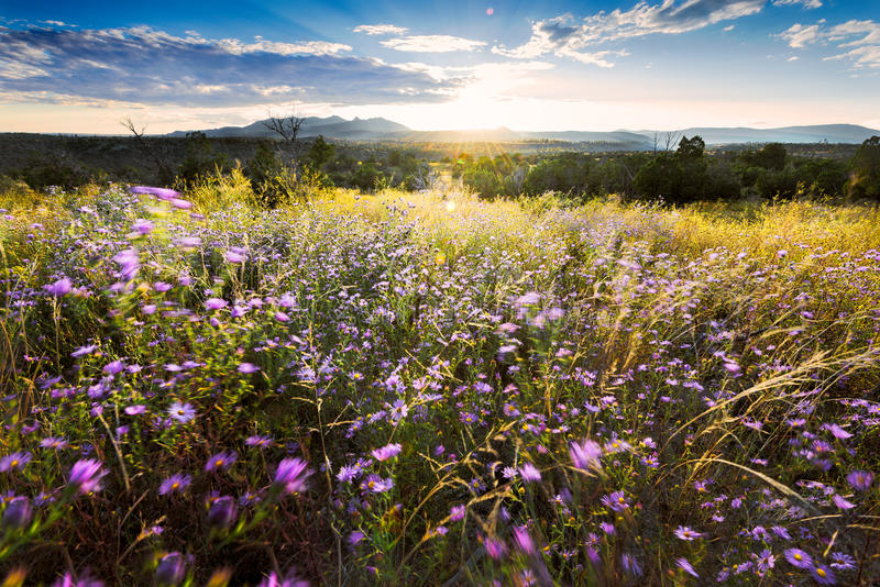Wind-Blown Purple Asters at Sunset in Northern New Mexico. Purple asters buffeted by high winds at Bandelier National Monument, NM stock photo