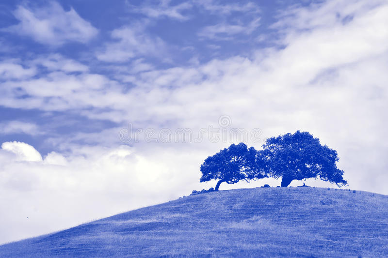 Wind blown tree atop large grassy hill in Sonoma. royalty free stock image