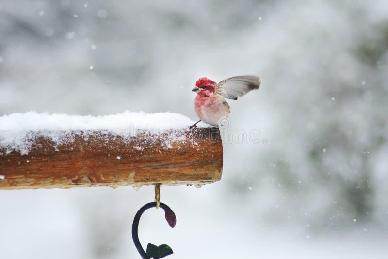 Wind die die Rosy Fitch blazen op sneeuwstruik wordt neergestreken stock foto