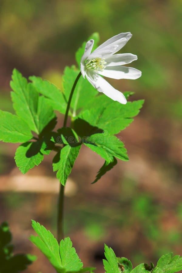 Wind-flower lizenzfreie stockbilder
