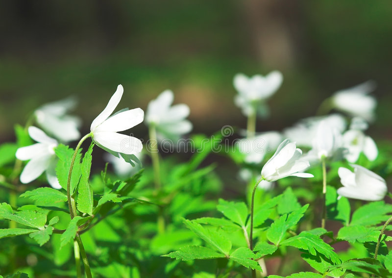 Wind-flower stock photo