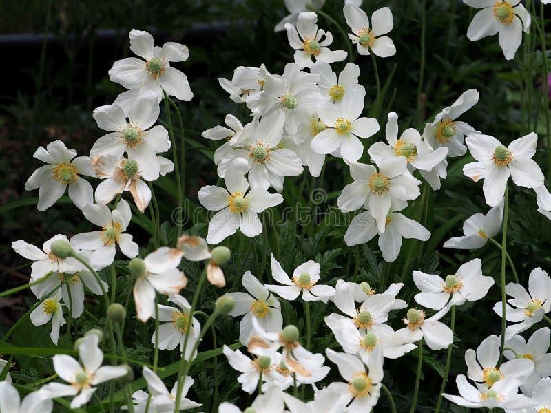 Wind Flower Or Anemone Nemorosa. Wind flower or Anemone nemerosa blooming in garden in late spring stock photos