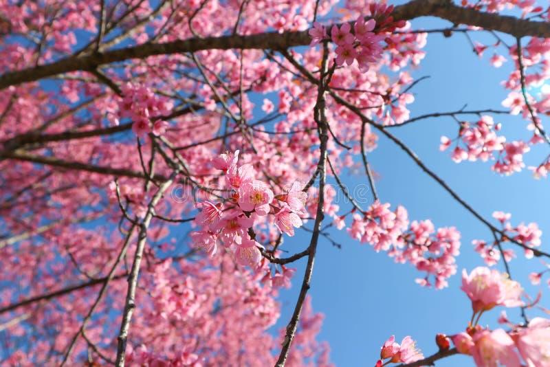 Wind himalayan cherry or prunus cerasoides or sakura royalty free stock image