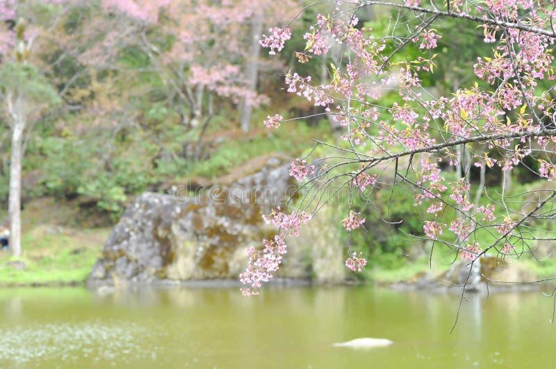 Wind himalayan cherry or prunus cerasoides or sakura stock images