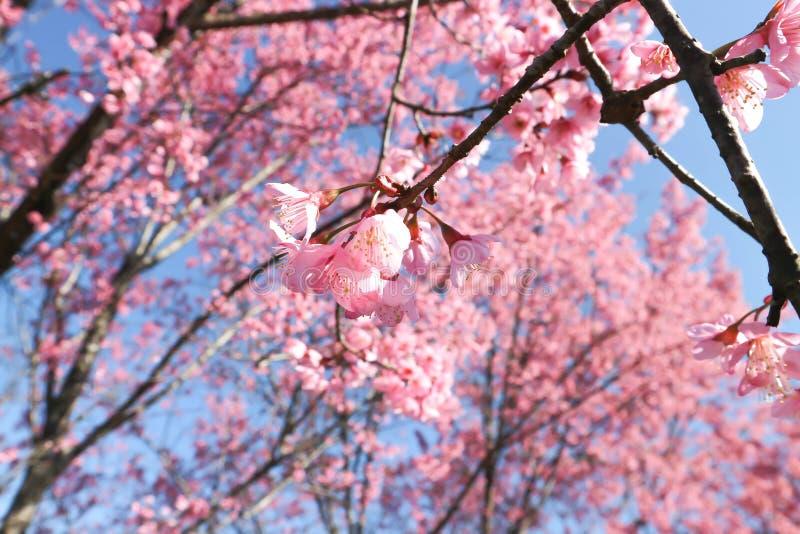 Wind himalayan cherry or prunus cerasoides or sakura stock photos