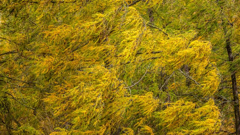 Wind moving european larch Larix decidua branches with yellow coloured autumn fir. Abstract windy background stock photos