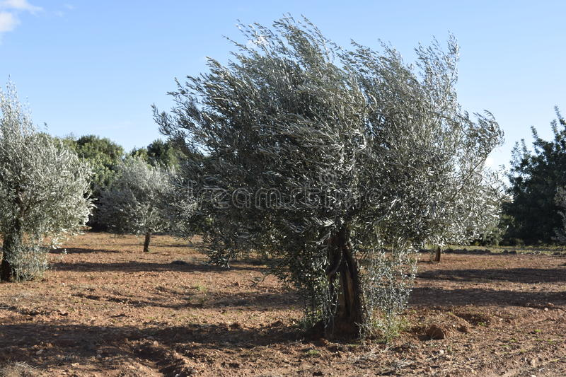 Wind. Olive tree are bent by wind. Wind. Olive tree are bent by wind against the background of the sky. Der Wind royalty free stock photos
