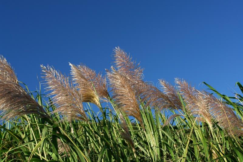 Wind op suikerrietgebieden royalty-vrije stock afbeeldingen