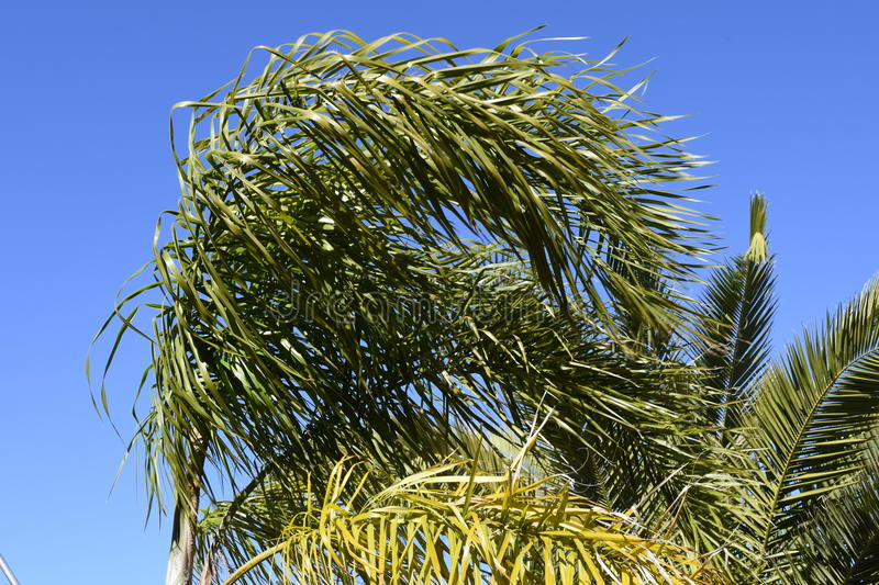 Wind. Palm leaves are bent by wind. Wind. Palm leaves are bent by wind against the background of the sky. Der Wind. Die Palmenblätter stock images