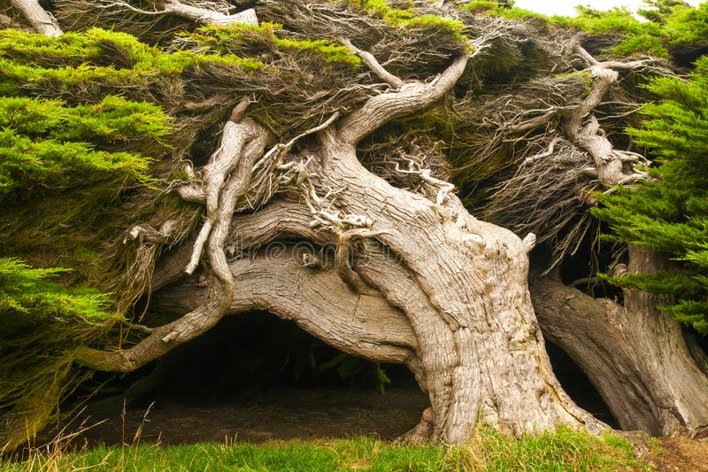 Wind sculpted trees, macrocarpa trees, Slope Point, Catlins, southern most point of South Island, New Zealand. Wind sculpted trees of surreal fantastic shaped royalty free stock photography