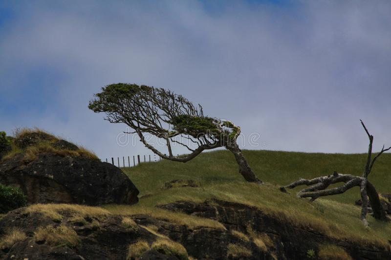 Wind shale tree. Lonely tree crooked on a wind whipped hill in green grass royalty free stock images