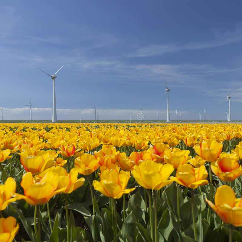 wind turbines against blue sky with orange tulips in the foreground stock photo