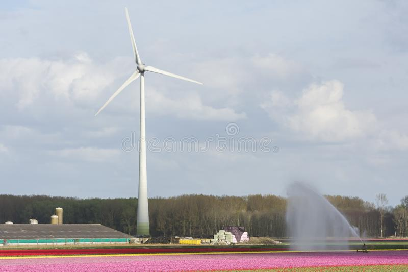 Wind turbines and tulips in Flevoland in Holland. Landscape with wind turbines and tulips in Flevoland in Holland royalty free stock photos