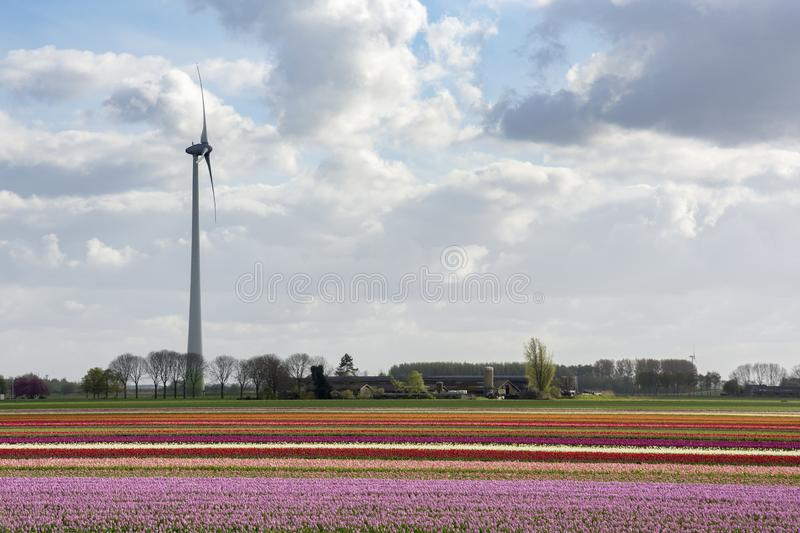 Wind turbines and tulips in Flevoland in Holland. Landscape with wind turbines and tulips in Flevoland in Holland stock photo
