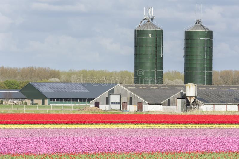 Wind turbines and tulips in Flevoland in Holland. Landscape with wind turbines and tulips in Flevoland in Holland stock image