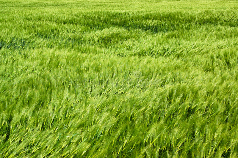 Download Wind In The Wheatfield Royalty Free Stock Photo - Image: 7323275