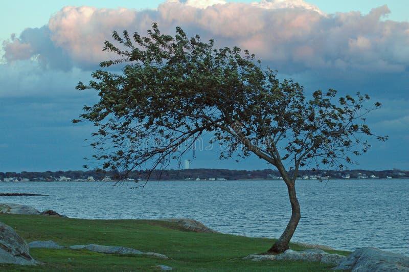 Windblown Baum auf Bucht stockbilder