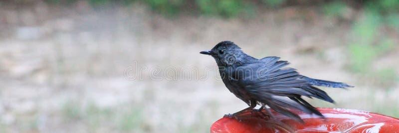 Windblown- Catbird royalty free stock image