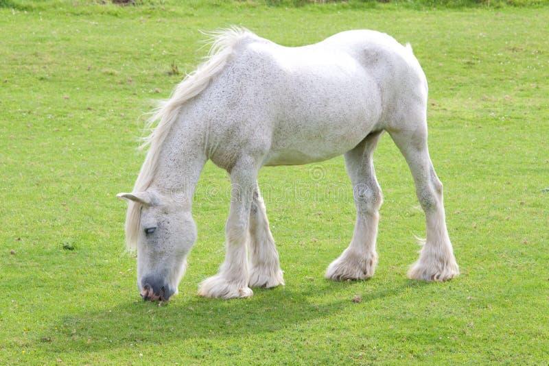 windblown grå häst arkivfoto